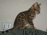 Бенгальские   котята. 1