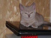 Плюшеві шотландські кошенята шукають нову домівку