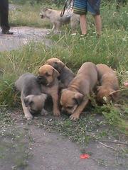продам щенков Ка-де-Бо