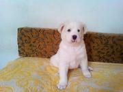 Продам щенка алабая