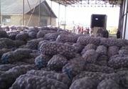 Картофель оптом от 5 тон 3 грн/кг