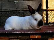 Кролі каліфорнійські та сріблясті