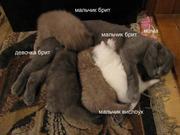 Продам шотландских вислоухих,  британских котят