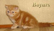 питомник Boyars предлагает котят